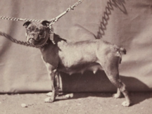 216px 02 old english bulldog 1863 paris france 2