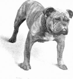 Olde english bulldogge 19